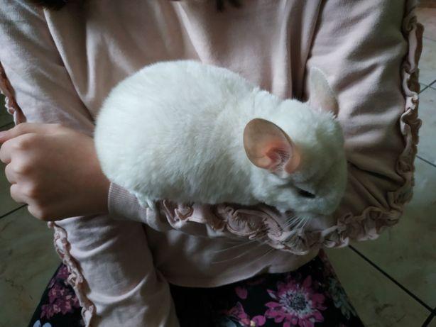 Szynszyl szynszyla - cała biała - samiczka