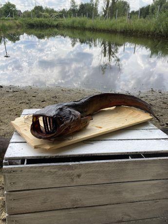 Ryby wędzone pstrąg, zębacz, łosoś, sum, dorsz, ryba wędzona