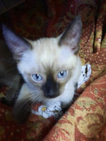 Сиамский котенок-мальчик