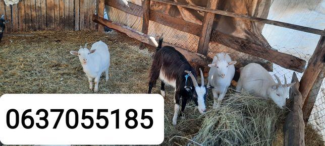 Продам коз и баранов