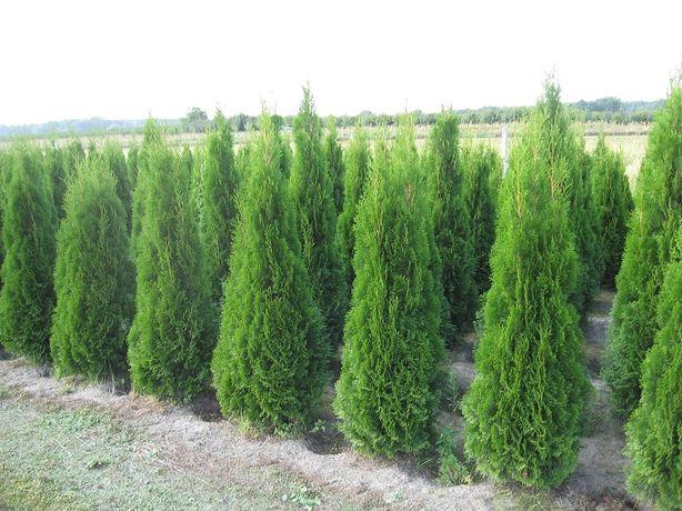 THUJA TUJA SMARAGD Szmaragd do 200cm i inne rośliny ozdobne