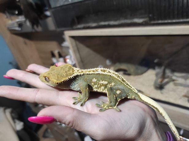 Gekon orzesiony samica