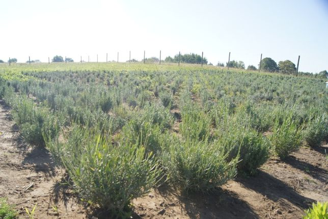 Lawenda lekarska-uprawa 100% ekologiczna.Sadzonki,hydrolat,olejek.