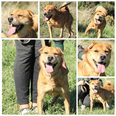 Маленький да удаленький пес Арчи, собака, рыжий, 1,5 года, 12 кг