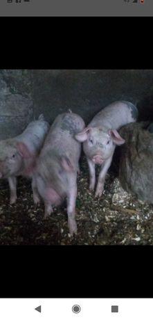 Porcos leitões para criar com 30 kg