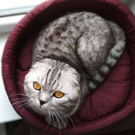 Вискасный Шотландский вислоухий кот (скоттиш-фолд) приглашает на ВЯЗКУ