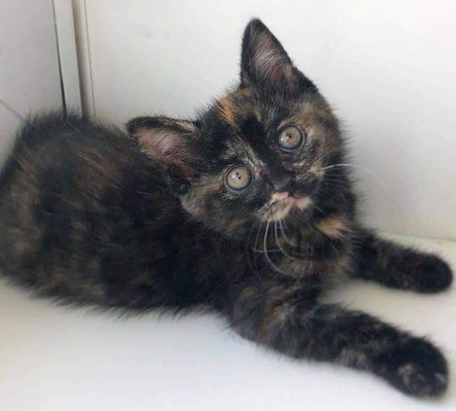 Красуня Монічка шукає дім 3 місяці кішечка кошеня, котик