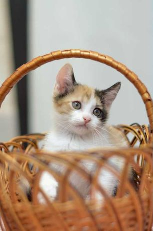 отдам котенка, трехцветная девочка, 2,5 месяца