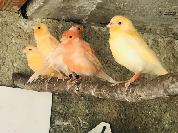 Vendo Canarios amarelos