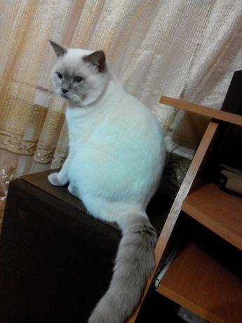 Вязка. Кот британец лиловый пойнт.