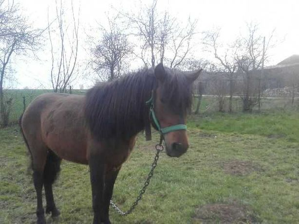 Koń hucuł maści gniadej
