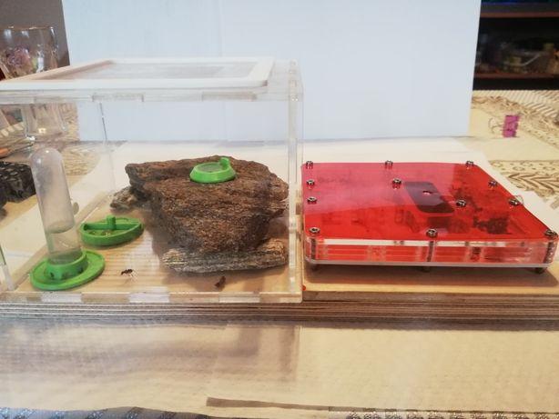 Camponotus ligniperda z formikarium i akcesoriami