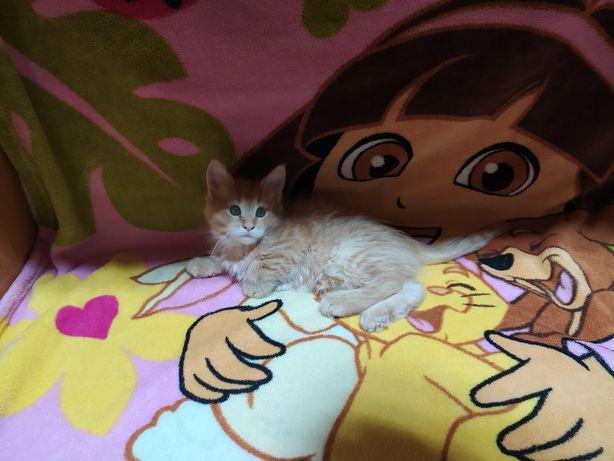 Котята мейн-кун, котик мейн-кун, кошка мейн-кун
