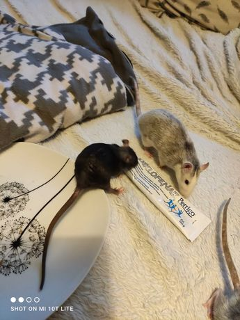 Szczurki dziewczyny