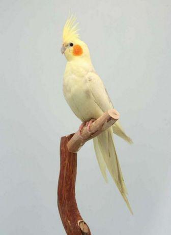 Продам папугаев кареллу