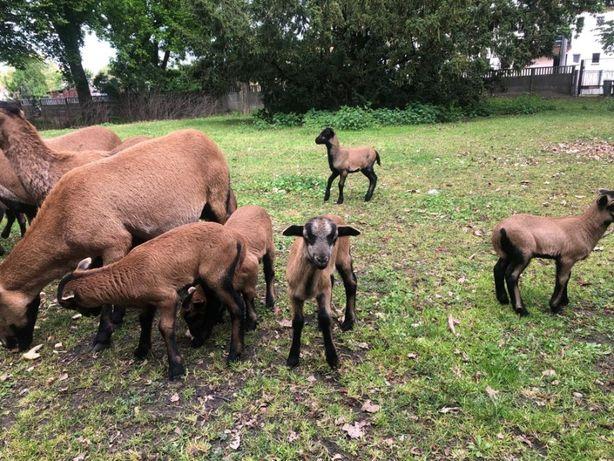 Owce kameruńskie- na sprzedaż