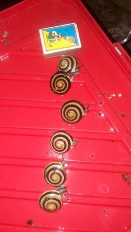 Улитки сухопутные древесные Караколусы. Караколус —одна из самы