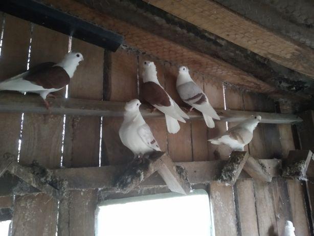 Gołębie Mewki ozdobne