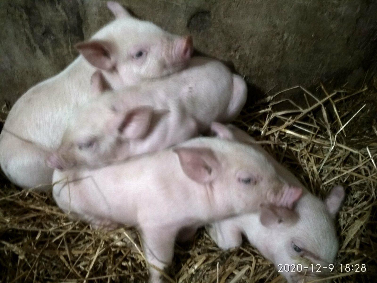 Свинина домашня,без хімії,поросята,м'ясо .