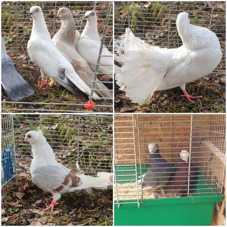 Gołębie mewki,tiplery,białogłówki