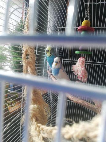Papużki faliste samce