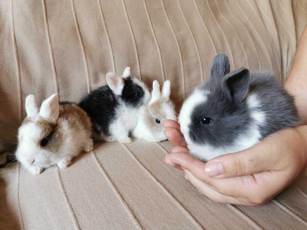 KIT coelhos anões teddy lindíssimos, muito dóceis