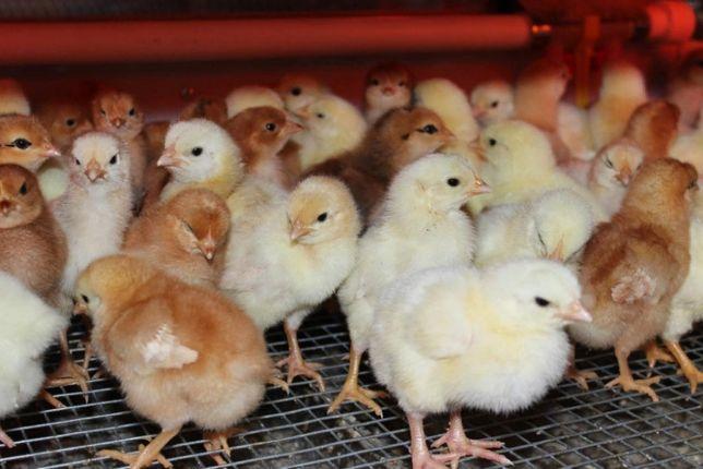 """Цыплята """"Ломан Браун"""", суточные, курочка, Венгрия - яичное направление"""