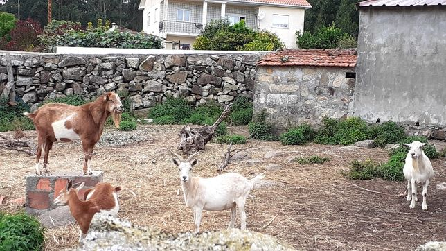 Cabras 1 macho e 3 fêmeas