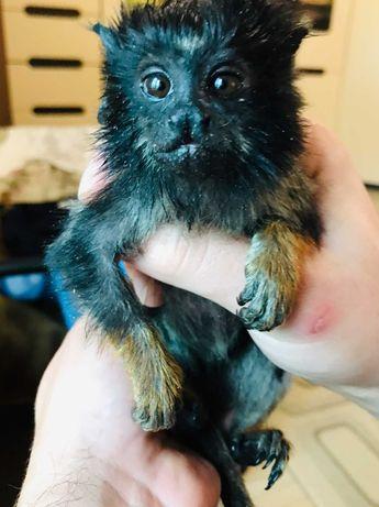 Карликовая обезьянка - желторукий тамарин, золоторукий тамарин