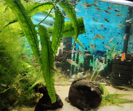 50 szt życia do akwarium - krewetki, kiryski, glonojady, gupiki