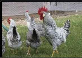 імпортні інкубаційні яйця Борківська Барвиста