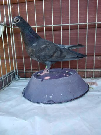 Gołębie ozdobne brodawczak
