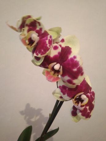 Орхидея  красивенная.