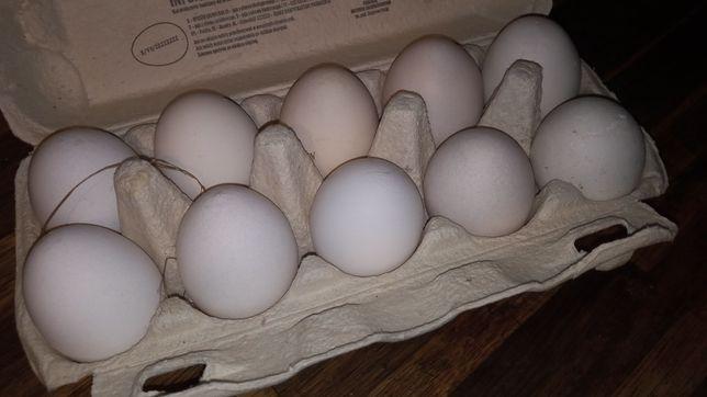 Jajka zielononużek