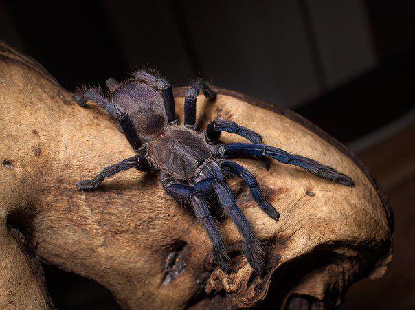 Паук Chilobrachys sp. Vietnam Blue L 6-7 самка