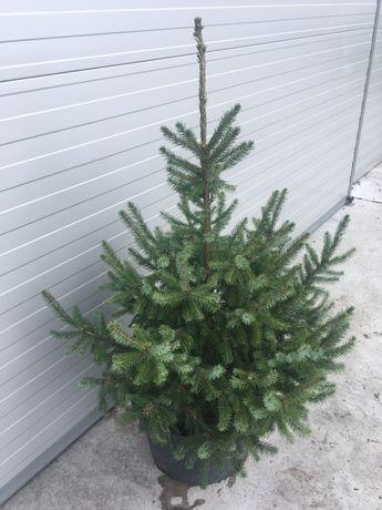 Świerk Serbski Picea Omorika 120cm doniczka 20-30L