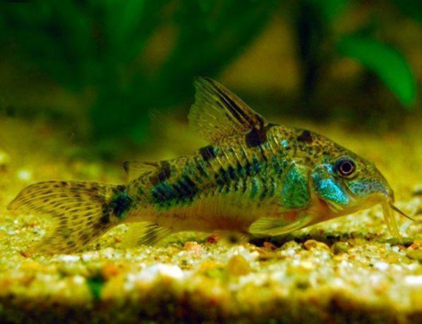 Ryby do akwarium - kirys pstry - hodowla