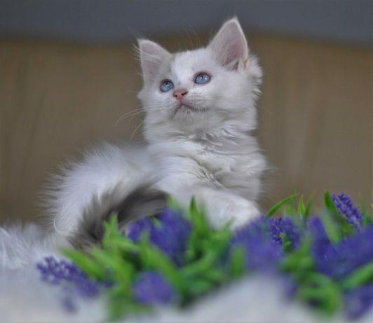 Elena śliczna koteczka rag