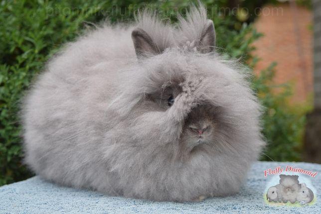 Ангорские крольчата.Самые пушистые кролики. Очень маленькие!