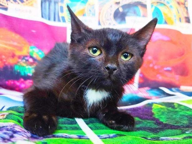 Котенок Сахиб 2 месяца ищет нежные мамины ручки, кот