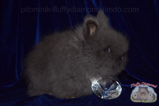 Ангорский карликовый кролик. Самая пушистая порода среди кроликов.