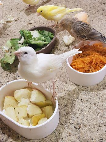 Kanarki 2021 r wysyłam ptaki kurierem