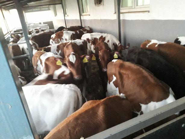 Byczki, żarłoki, odsadki, 120-150 kg,na paszy bez mleka