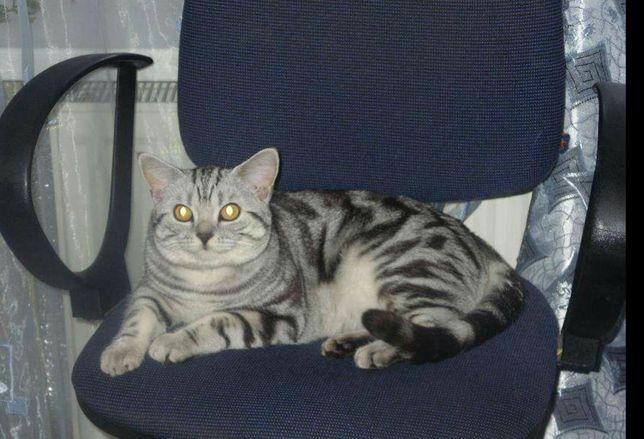 Мраморный котик на вязку