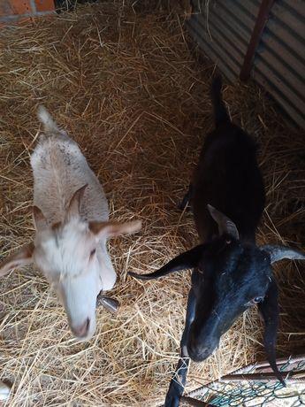 Vendo casal de cabras com cerca de um ano e meio