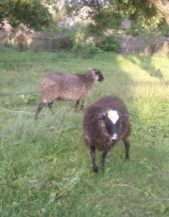 Овца и баран Романовские. Молодые 6 месяцев