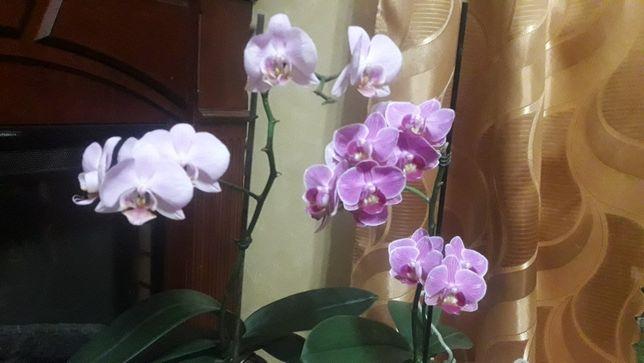 Орхидеи продам мультифлора