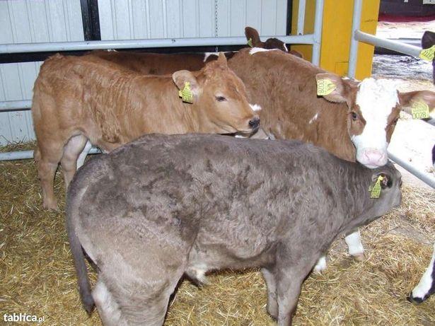Byczki mięsne cielęta cielaki mięsne byki bydło cielak cielę MM
