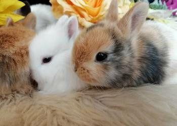 Szprzedam 2 króliczki miniaturki