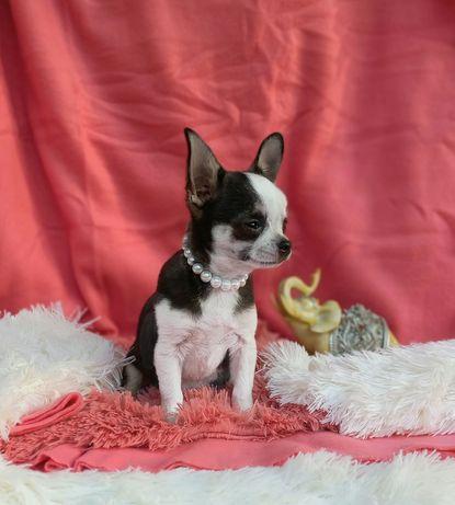 Chihuahua Śliczny Mały PIESEK Rodowód